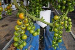 il pomodoro fruttifica nel vaso separato per irrigazione a goccia nella serra del Vietnam Fotografia Stock