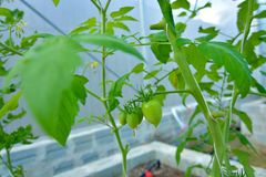 Il pomodoro organico usa il sistema dell'irrigazione a goccia Fotografia Stock Libera da Diritti