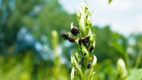 Il popillia japonica dello scarabeo giapponese è specie comuni di scarabeo Fotografia Stock Libera da Diritti