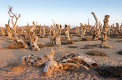 Il populus euphratica ha appassito l'albero Fotografia Stock Libera da Diritti