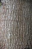 Il populus tremula comunemente ha chiamato la tremula il tronco di un albero vivente corteccia Immagine Stock Libera da Diritti