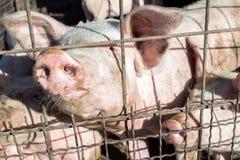 Il porcellino sta aspettando l'alimento nella stalla della carne di maiale Ritratto del maiale Fotografie Stock