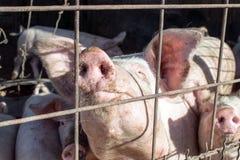 Il porcellino sta aspettando l'alimento nella stalla della carne di maiale Ritratto del maiale Fotografie Stock Libere da Diritti
