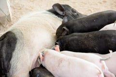 Il porcellino sta mangiando il latte materno Immagine Stock