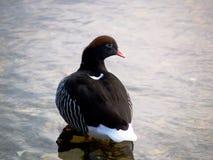 Il porto Stanley, Falkland Islands di hybrida di Chloephaga dell'oca del fuco Immagini Stock Libere da Diritti
