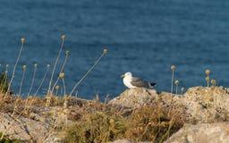 Il Portogallo, Algarve, fortezza di Sagres, Gulls il nido, Fortaleza del Sagres, Nido de Gaviotas Immagini Stock