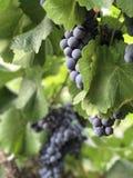 Il potere dell'uva fotografia stock