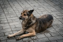 Il povero cane bagnato che risiede nel pavimento fotografie stock libere da diritti