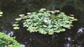Il pozzo ha incorniciato lo zoom fuori dal fiore rosa waterlily dentro dello stagno all'interno di un giardino giapponese abbelli video d archivio