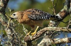 Il pranzo del falco Fotografia Stock