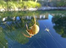 Il pranzo di un ragno Fotografia Stock Libera da Diritti
