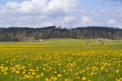 Il prato alpino con giallo della molla fiorisce e mucche gruyeres Immagini Stock