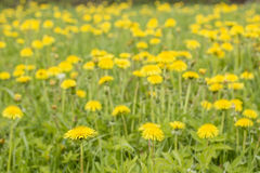 Il prato con bello giallo fiorisce il taraxacum medicinale Fotografia Stock