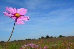 Il prato con il rosa selvaggio ed il lillà ha colorato i fiori con un'ape Fotografia Stock