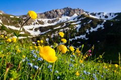 Il prato con la molla alpina fiorisce il europaeus di trollius nell'Eu Immagini Stock Libere da Diritti