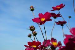 Il prato con rosso selvaggio e Borgogna ha colorato i fiori Immagine Stock Libera da Diritti
