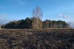 Il prato degli alberi di betulla in primavera dopo l'erba asciutta dell'anno scorso brucia immagine stock libera da diritti