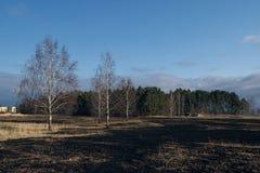 Il prato degli alberi di betulla in primavera dopo l'erba asciutta dell'anno scorso brucia immagini stock libere da diritti