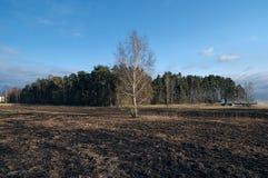 Il prato degli alberi di betulla in primavera dopo l'erba asciutta dell'anno scorso brucia fotografia stock