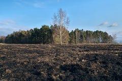 Il prato degli alberi di betulla in primavera dopo l'erba asciutta dell'anno scorso brucia immagine stock