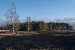 Il prato degli alberi di betulla in primavera dopo l'erba asciutta dell'anno scorso brucia fotografie stock libere da diritti