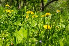 Il prato della primavera con il campo fiorisce un giorno soleggiato luminoso Immagine Stock