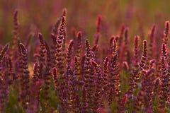 Il prato di fioritura nella sera immagini stock