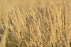 Il prato giallo, piante asciutte e alte nel tramonto si accende Fotografie Stock Libere da Diritti