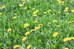 Il prato verde con il dente di leone giallo fiorisce il fondo dell'estate Immagini Stock Libere da Diritti