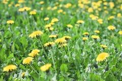 Il prato verde con il dente di leone giallo fiorisce il fondo dell'estate Fotografia Stock