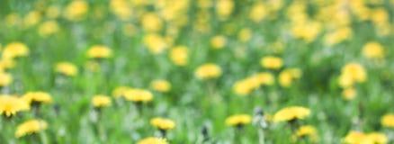 Il prato verde con il dente di leone giallo fiorisce il fondo dell'estate, il fuoco blured, insegna Fotografie Stock Libere da Diritti