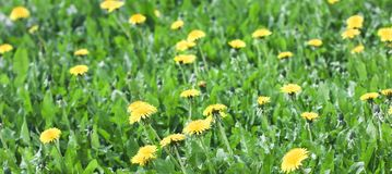Il prato verde con il dente di leone giallo fiorisce il fondo dell'estate, insegna Immagine Stock Libera da Diritti