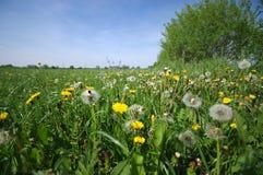 Il prato verde in pieno dei denti di leone fiorisce non per le vittime di allergia Fotografia Stock Libera da Diritti