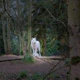 Il predatore della foresta fotografia stock libera da diritti