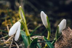 Il primo fiore della molla conosciuto come i nivalis di Galanthus di bucaneve Immagine Stock