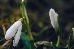 Il primo fiore della molla conosciuto come i nivalis di Galanthus di bucaneve Immagini Stock