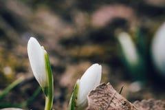 Il primo fiore della molla conosciuto come i nivalis di Galanthus di bucaneve Fotografia Stock Libera da Diritti