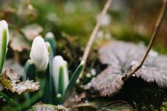 Il primo fiore della molla conosciuto come i nivalis di Galanthus di bucaneve Immagini Stock Libere da Diritti