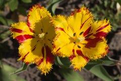Il primo fiorisce in primavera il giardino Immagine Stock