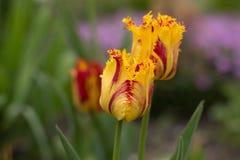 Il primo fiorisce in primavera il giardino Immagini Stock