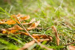 Il primo giallo iniziale di autunno va sul prato inglese al sole Immagine Stock