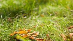 Il primo giallo iniziale di autunno va sul prato inglese al sole Fotografia Stock Libera da Diritti