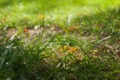 Il primo giallo iniziale di autunno va sul prato inglese al sole Immagini Stock