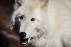 Il primo piano artico bianco del lupo ha occhi ambrati Immagini Stock Libere da Diritti