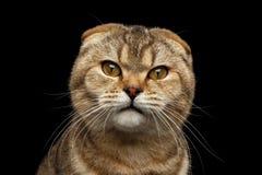 Il primo piano che gli Scottish arrabbiati piegano il gatto con gli occhi abili ha isolato il nero Fotografie Stock