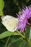 Il primo piano che si siede su una farfalla del fiordaliso del fiore figlia le pieridae Fotografia Stock