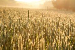 Il primo piano crescente del grano nella mattina inumidisce su fondo dell'alba Fotografie Stock