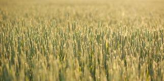 Il primo piano crescente del grano nella mattina inumidisce su fondo dell'alba Fotografia Stock