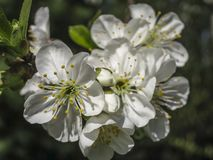 Il primo piano dei fiori bianchi della ciliegia sboccia in primavera Molti fiori bianchi nel giorno di molla soleggiato immagine stock libera da diritti