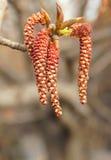 Fiore del pioppo Fotografia Stock